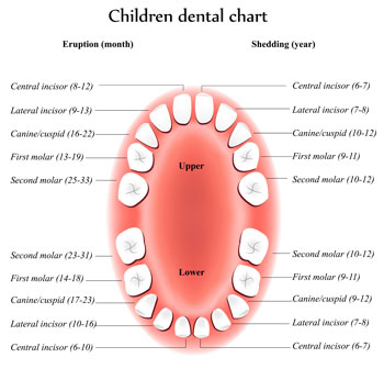 Tooth Eruption Chart - Pediatric Dentist in Ardmore, PA
